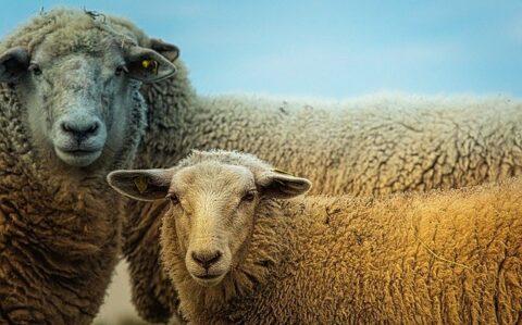 Echte schapenvachten kopen